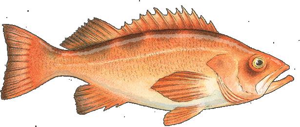 Pacific Rockfish_S_P